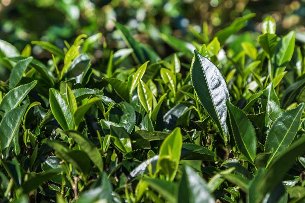 Catechin trong trà xanh là một chất chống oxy hóa hiệu quả