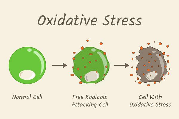 ROS gây chết tế bào, ảnh hưởng đến hoạt động tế bào