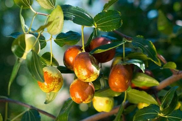 Lá và hạt của táo tàu có tác dụng gì?